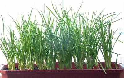Зеленые стебли лука в рацион для похудения